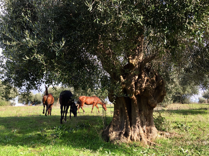 The Maremma Natural Park: horses grazing freely and centuries old olive tree