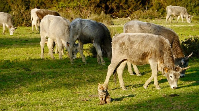 Maremma Natural Park fox and Maremmano cattle