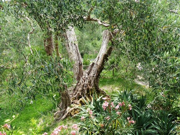 Ancient oloive tree in tuscany