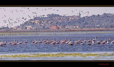 Italy aninmals: flamingos in Maremma