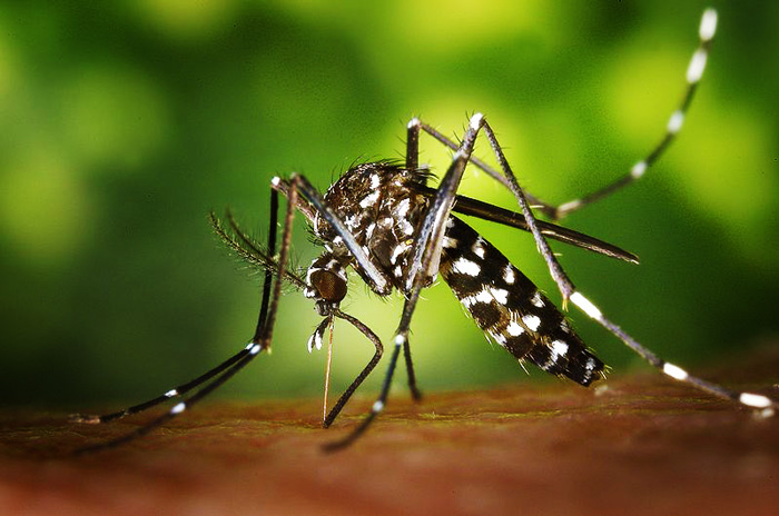 Asian Tiger mosquito in Tuscany.