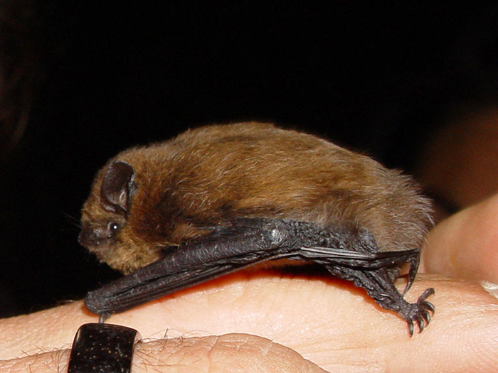 The Tuscany bat - the common pipistrelle