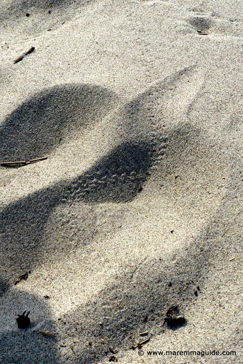 Puzza di Merda scarafaggio beetle tracks on Tuscany beach in Maremma
