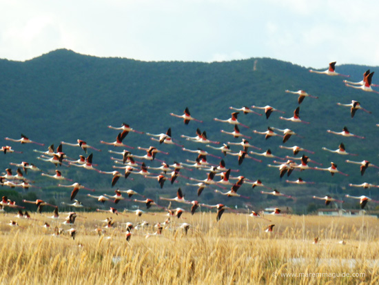 Birdwatching in Maremma: pink flamingos at Diaccia Botrone