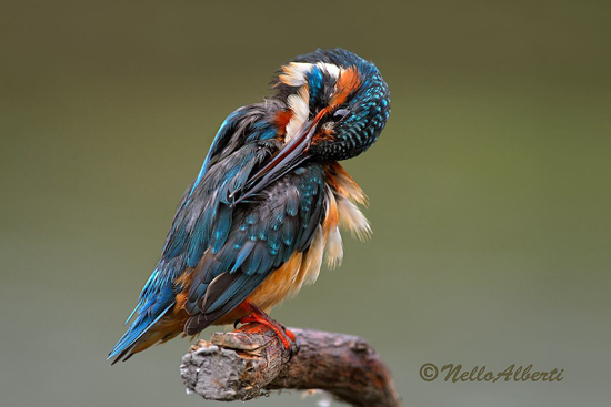Birdwatching in Maremma Tuscany: female Kingfisher at the Laguna di Orbetello