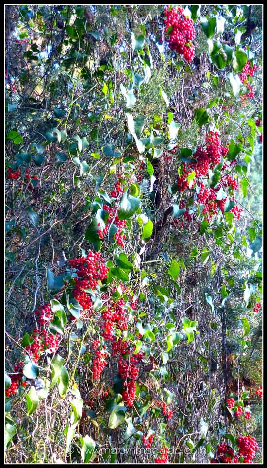 Stunning natural Christmas decorations: ivy in the Bosco della Sterpaia Tuscany Italy