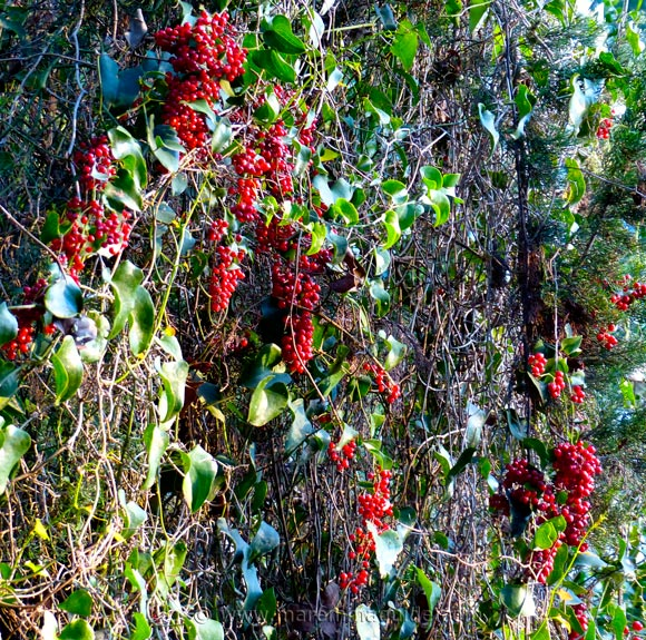 Bosco della Sterpaia red ivy berries in winter
