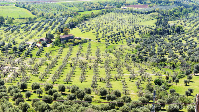Tuscany olive groves in Maremma Italy.