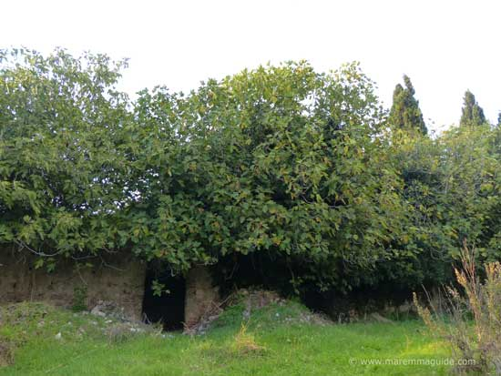 Castello di Pietra route: abandoned buildings covered in fig trees Tuscany