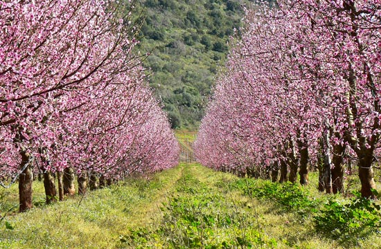 Cherry blossom trees in Maremma Tuscany Italy in March