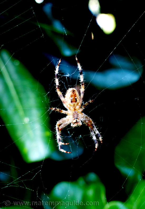 Common native garden spider in Tuscany Italy