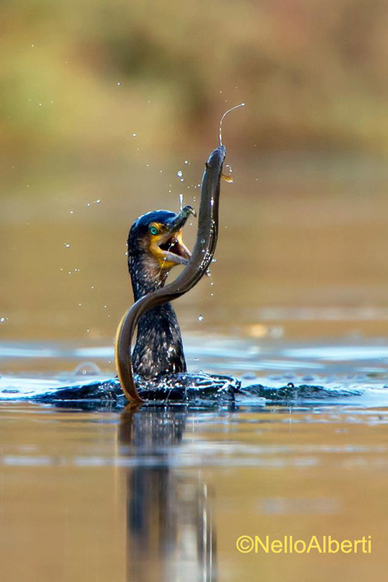 Cormorant catching an eel at the Laguna di Orbetello, Maremma Tuscany