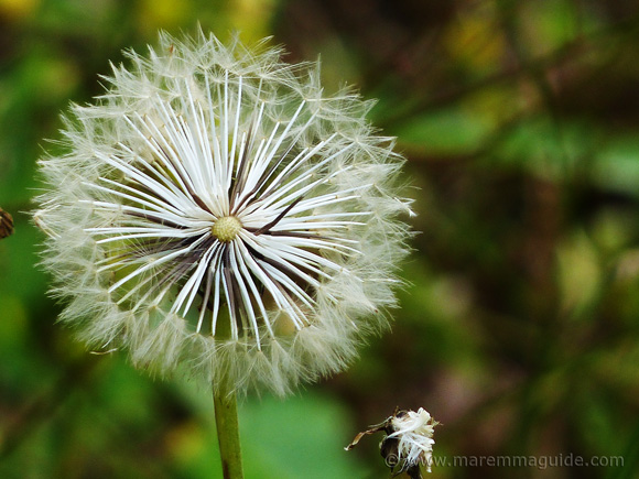 Summer dandelion in Tuscany.