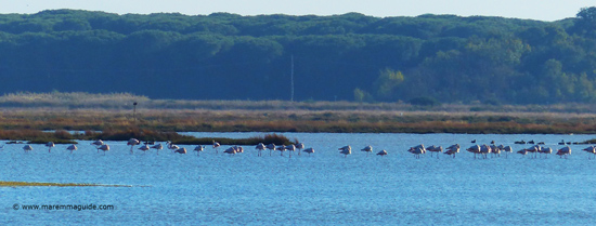Flamingoes in October the Riserva Naturale Diaccia Botrona