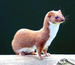 Donnola, Least Weasel, Mustela nivalis