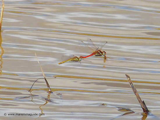 Dragonflies drinking in Maremma Tuscany