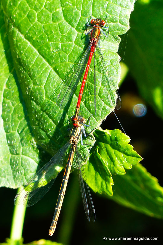 Dragonflies mating in Tuscany Italy