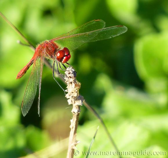 Scarlet darter dragonfly in Tuscany