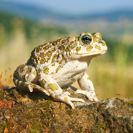 European Green Toad Bufo viridis