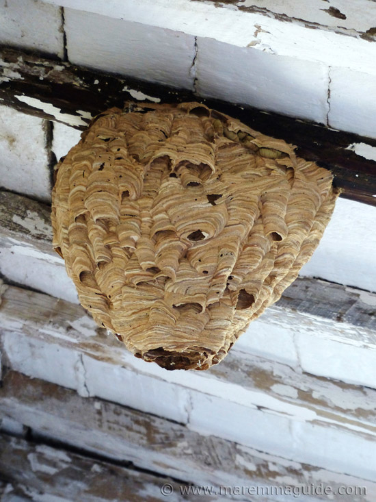 Wasp nest in old Tuscany farmhouse