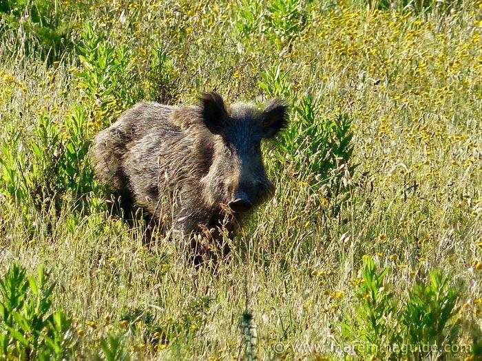 Wild boar sow in Maremma Tuscany Italy.