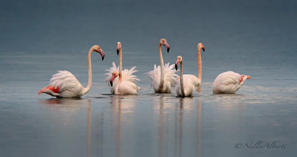 Flamingoes Orbetello Lagoon in January