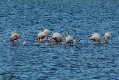 Pink flamingos in the Laguna di Orbetello in Maremma Italy