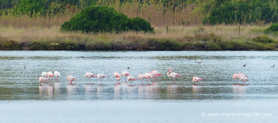 Pink Flamingos Orbetello Lagoon