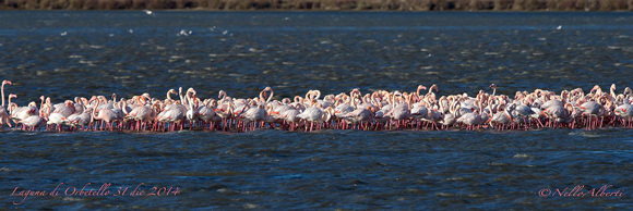 Flamingos Orbetello Laggon December in Maremma