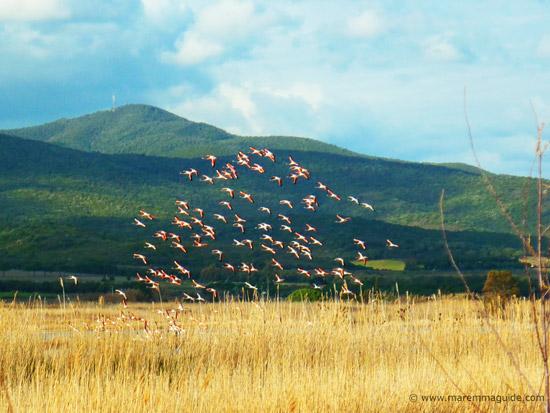 Pink flamingos in Maremma Tuscany Italy: Diaccia Botrona reserve