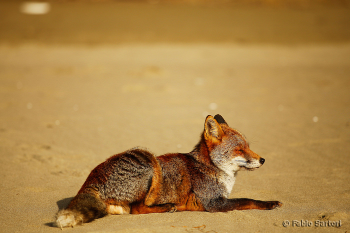 Foxes in Tuscany: Maremma's