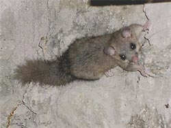 Ghiro, Edible Doormouse, Myoxus glis