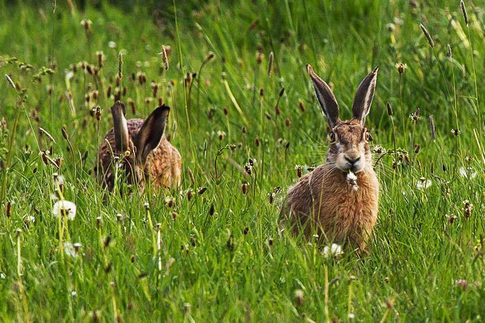 Hares in Tuscany Italy.