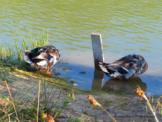 Headless Italian Mallards