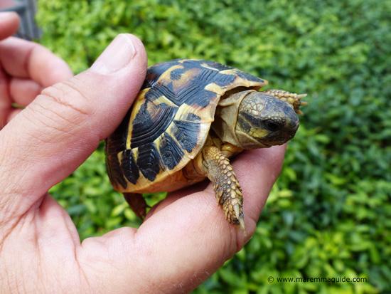 Hermann's Tortoise, Maremma Tuscany
