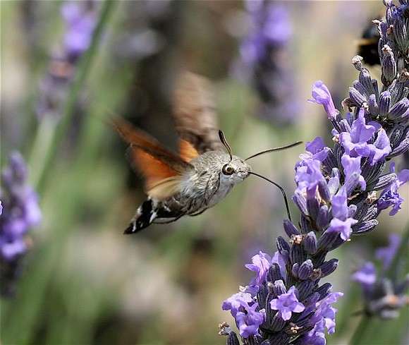 Insects in Italy: Hummingbird hawk-moth in flight and feeding