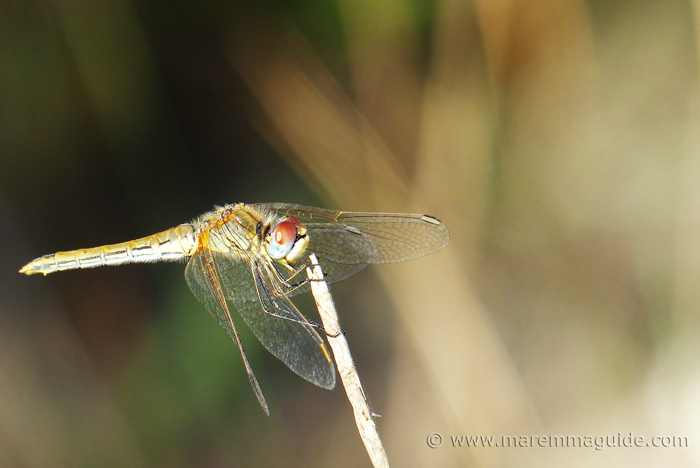 Insects in Italy: Skimmer dragonfly