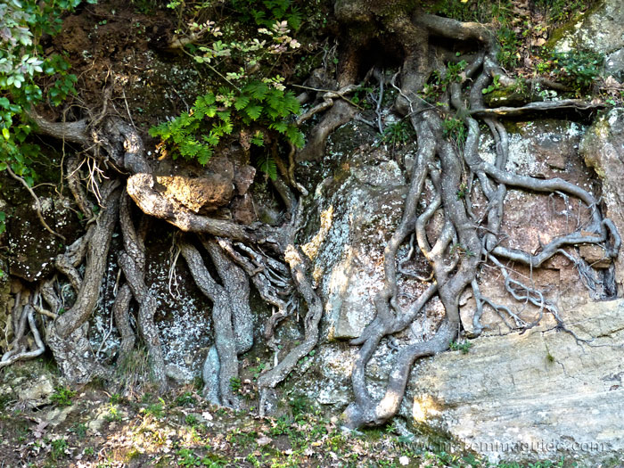 Tree roots at San Rocco.