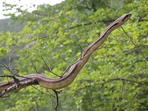 Italian Snakes in Tuscany Italy: Four-lined Snake Elaphe quatuorlineata
