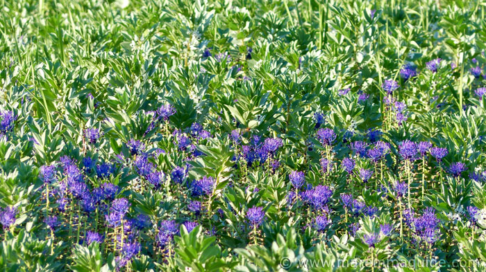 Purple legume flowers in bloom in Tuscany in June