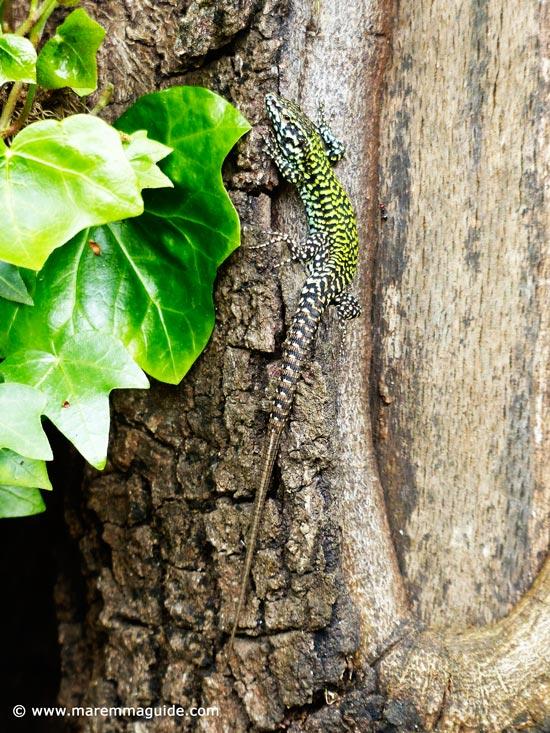 Tuscany lizard Italy