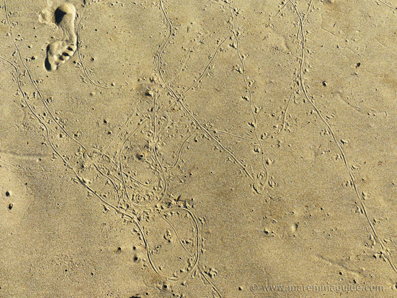 Lizard tracks on Italy beach.