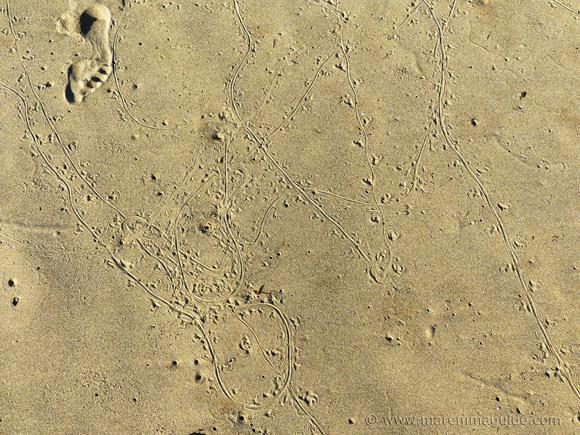Lizard tracks on Italy beach.
