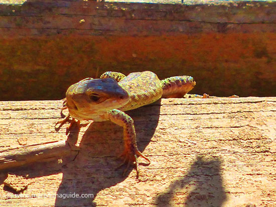 Lucertola Comune lizard basking in the sun