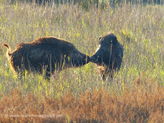 Male wild boars communicating, Maremma Tuscany