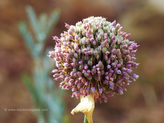 Wild garlic in Maremma Tuscany: Mediterranean Allium flavum.
