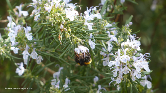 Bee in Tuscany on coastal rosemary flowers