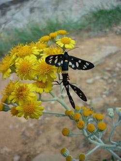 Maremma butterflies