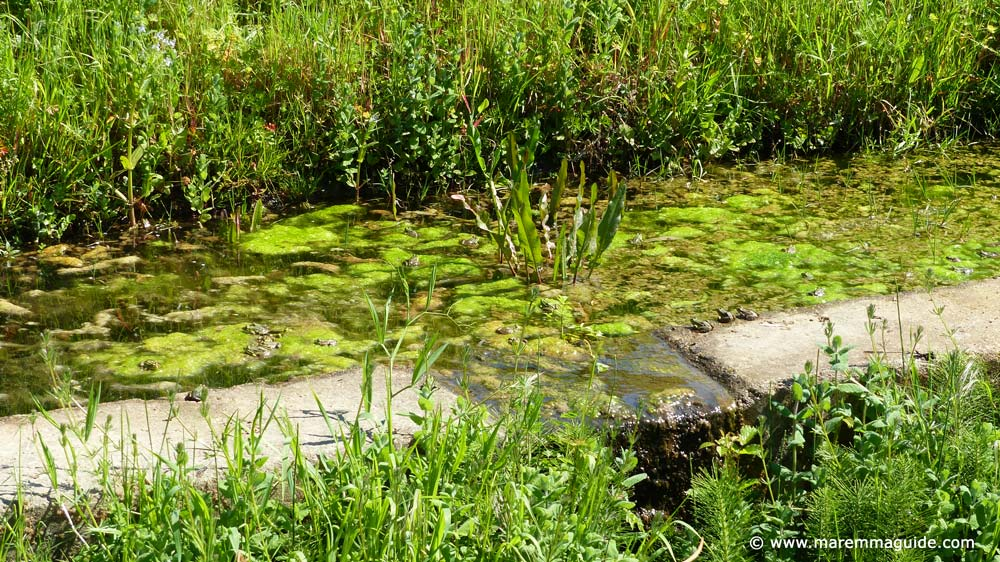 Maremma frogs in Tuscany Italy in spring