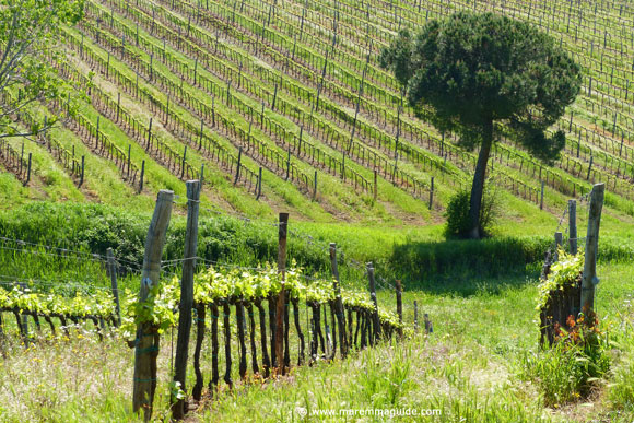 Maremma in April: green Tuscany vineyards